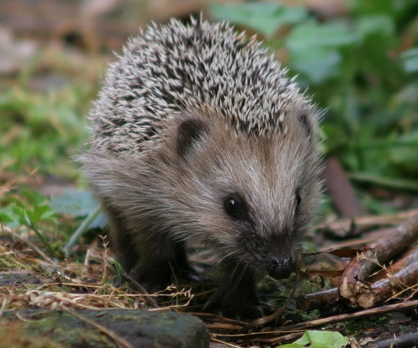Hedgehogs can help to protect your garden
